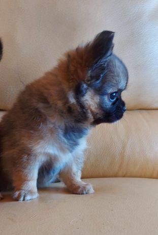 Sublime Chihuahua pêlo Comprido