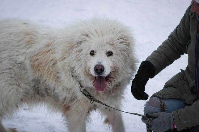 Lolek - w typie Owczarek podhalański; może zamieszkać z innym psem