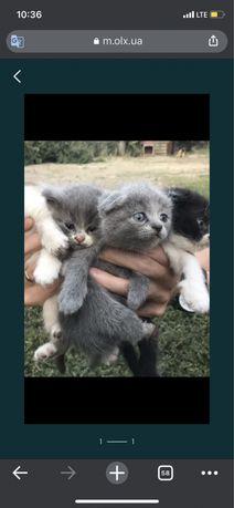 Віддам Безкоштовно котиків від британської весловухої кішки/котики
