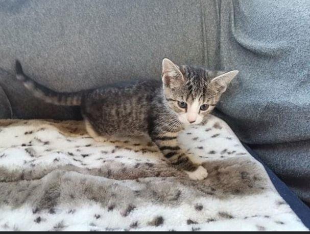 Znaleziono burego kotka z białymi skarpetkami