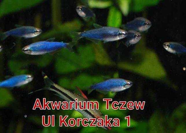 10 sztuk Tetra kerri blue ul Korczaka1 Tczew