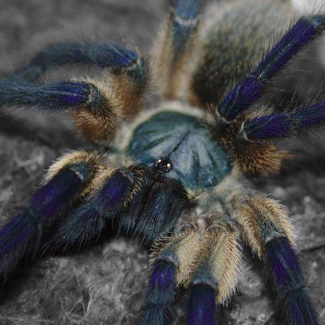 Monocentropus balfouri Шикарная самка паука птицееда с отправкой Ukr