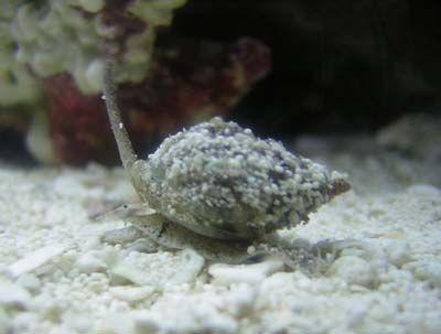 Nassarius vibex ślimak - baby / akwarystyka morska