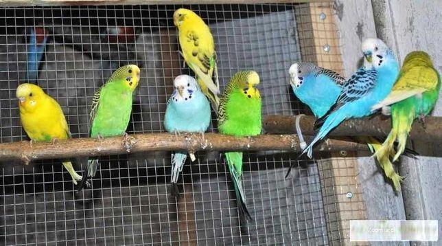 Papużki faliste Rok 2020