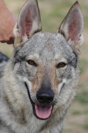 Волк для съёмок. фотосессия с волком. Чехословацкий влчак
