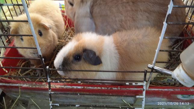 Кролики свинки в наличии