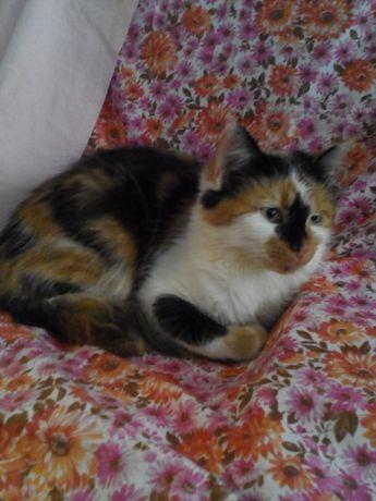 Отдам котенка трехцветку, 8 месяцев