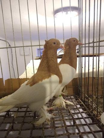 Gołębie ozdobne sroka mazowieckie kasztany