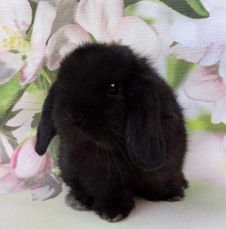 Króliczek królik Mini lop! Piękny samczyk!