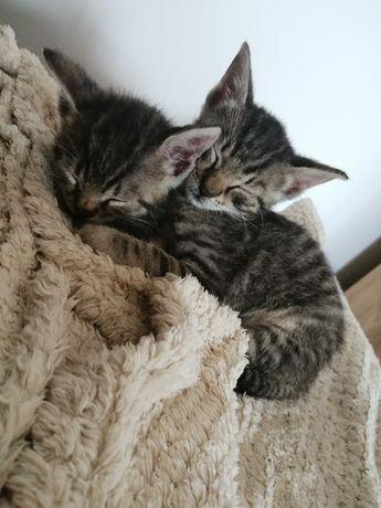 Oddam dwa kotki w dobre ręce