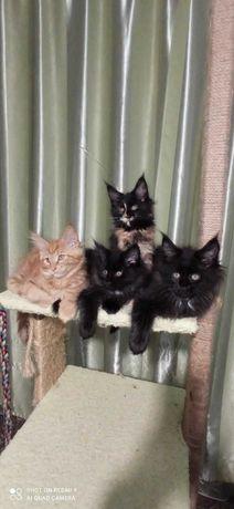 Котята Мейн Кун .