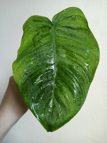 Philodendron Tenue