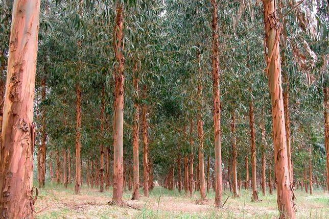 Vendo eucaliptais 12 hectares - Rio Maior