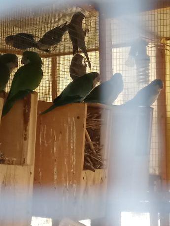 Продам попугаев калита монах