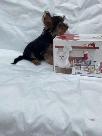 Yorkshire Terrier  M