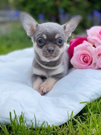 Chihuahua Piesek liliowy unikat