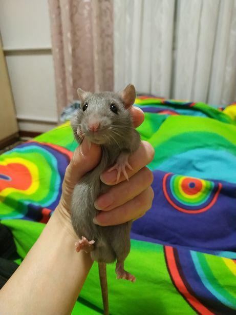 Крыс полностью серый в белых перчатках.