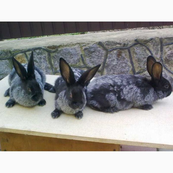 Кролі Полтавське срібло Самбор - изображение 1