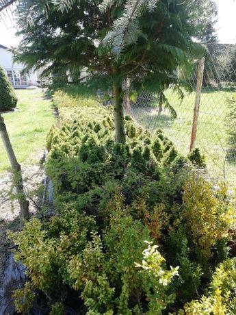 Wysprzedaz roślin iglaków thuje bukszpany kule
