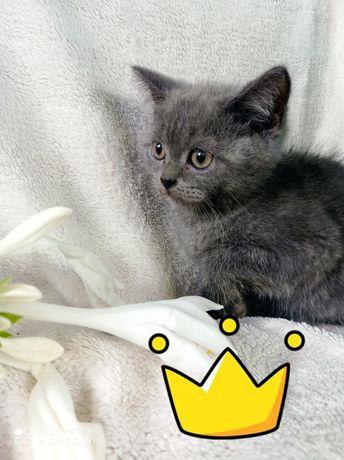 Котенята британці прямоухі
