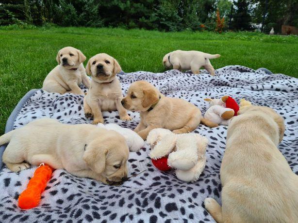 Labrador Retriever FCI szczenięta