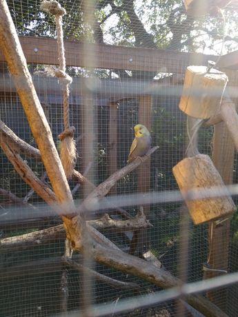 Papużki falistee