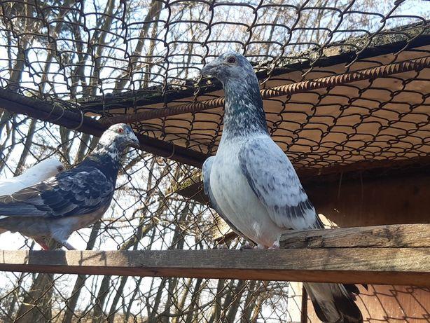 Para gołębi pocztowych Szymlów