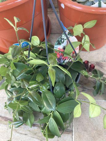Planta mona lisa