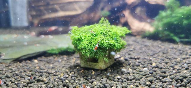 Mini cubo com musgo riccardia chamedryfolia /mini pelia