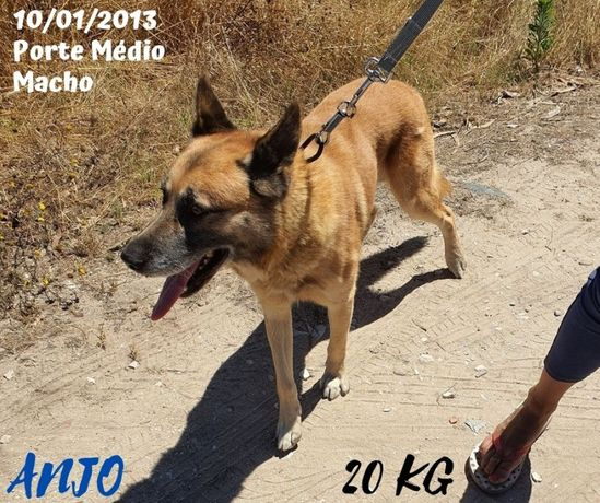 Cão Porte Médio (20kg) Para Adoção (Anjo)