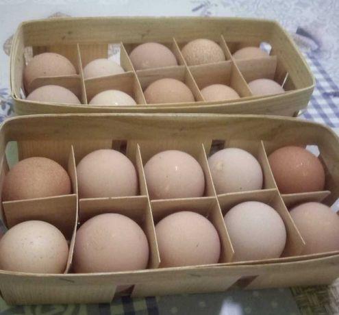 Продам яйца цесарки