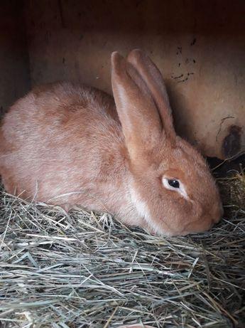 SAMIEC królik Nowozelandzki czerwony