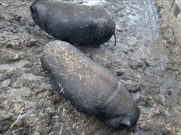 Вьетнамские свини,поросята, живым весом