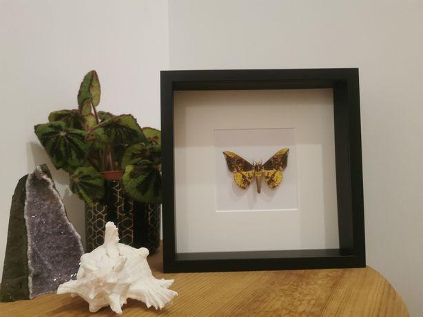 Traça real Imperial Moth