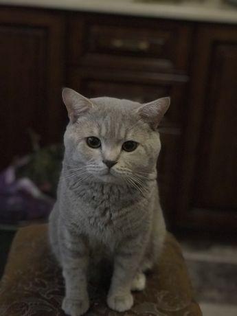 Кіт на зв'язку з висловухими кицями