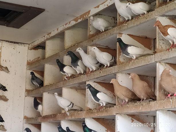 Sprzedam gołębie jasne perłowe
