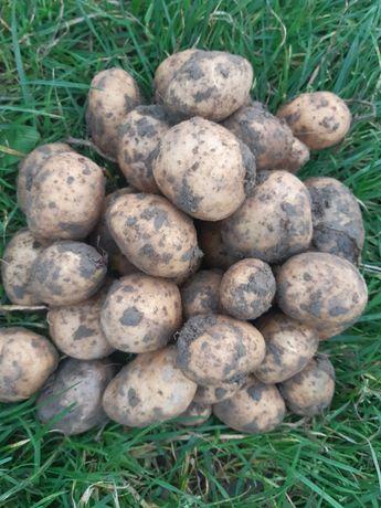 Ziemniaki Owacja ekologiczne certyfikat