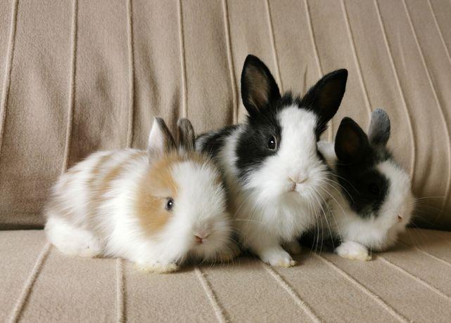Coelhos anões angorá, holandês mini e teddy lindíssimos