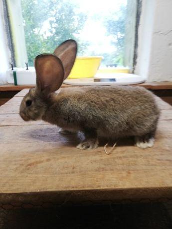 Olbrzym belgijski belg młode samiczki samczyki duże ucho