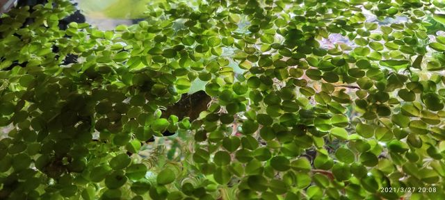 Rośliny akwarjowe z prywatnego akwarjum