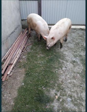 Продаю свиню (свиней)