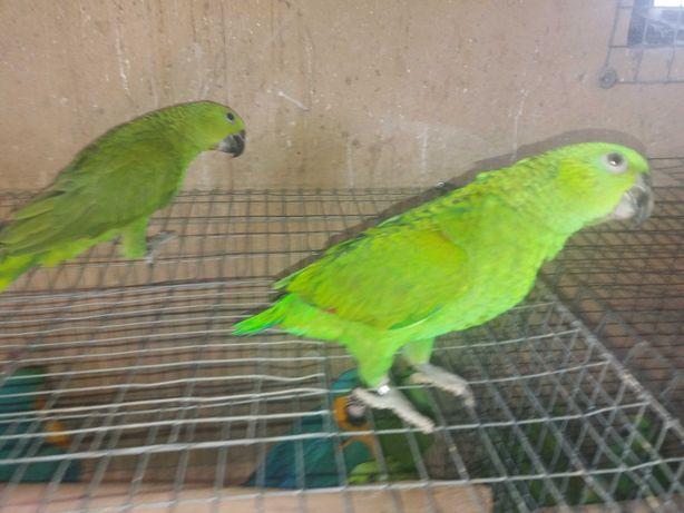 casal papagaio amazonas auropaliata 2019 o mais falador de todos