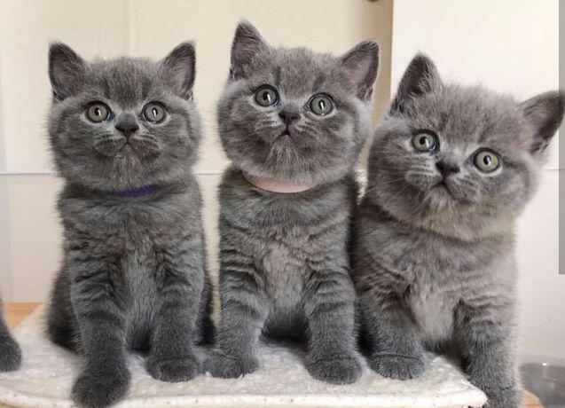 Котята прямоухие шотландские