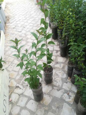 Arbustos vedação, esplanadas, propriedades, quintas entre outros.