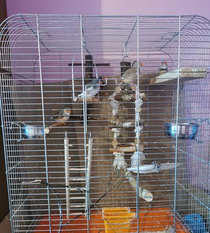 Ptaszki Zeberki 6 sztuk