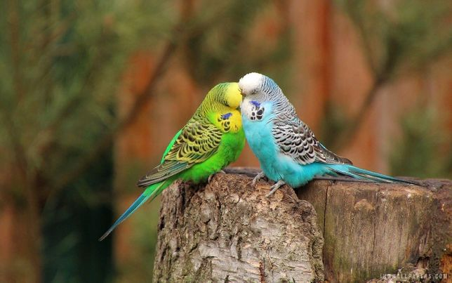 продам попугаев волнистых