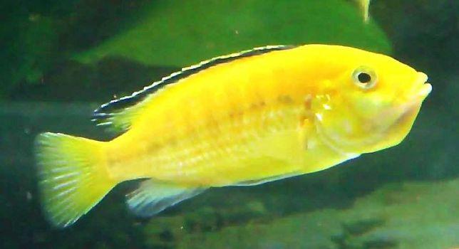 Labidochromis Amarelo Eletrico