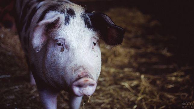 Продам свинину, туші свиней