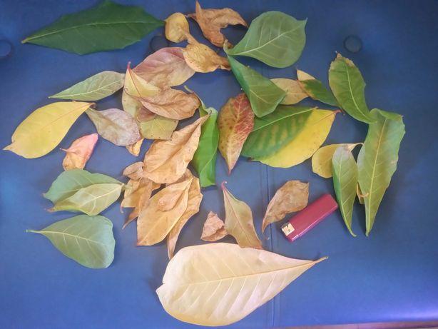 liście ketapangu (migdałecznika morskiego)