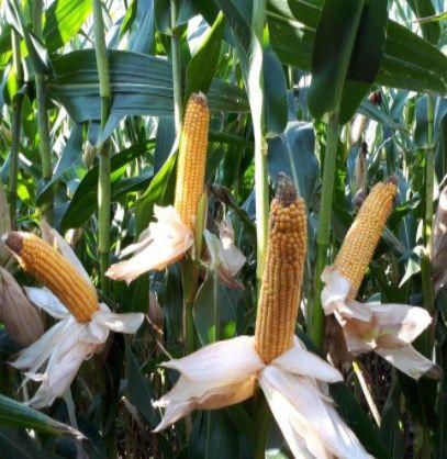 HULK 80 tys nasion - nasiona kukurydzy na kiszonkę